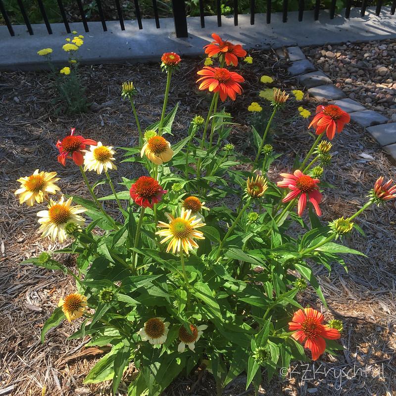 IMG_1181CheyenneSpiritConeflowers