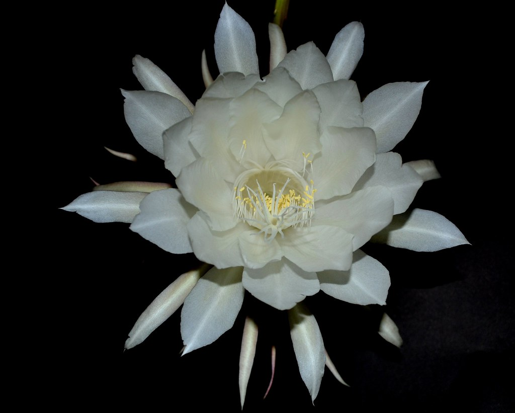 Epiphyllum Oxypetalum Dama De Noche Queen Of The Night Flickr