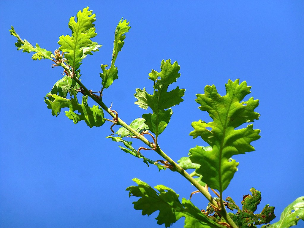 Quercus garryana Dougl  ex Hook  1840 (FAGACEAE) | Nuevas ho