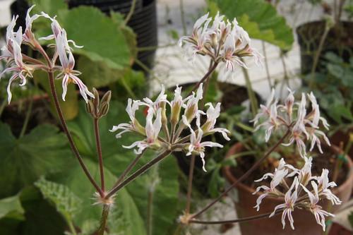 Pelargonium auritum var. carneum