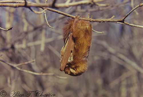 Lasiurus borealis (Red Bat)