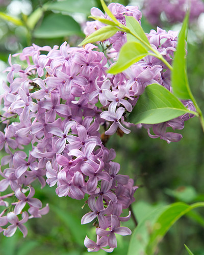 Syringa 'Red Rothomagenesis' (Cultivar of Common Lilac) | by Plant Image Library