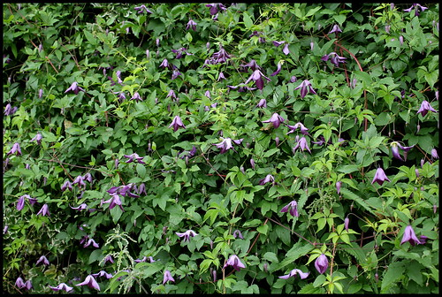 Clematis viticella - clématite italienne 28008711531_40ddc0f9af