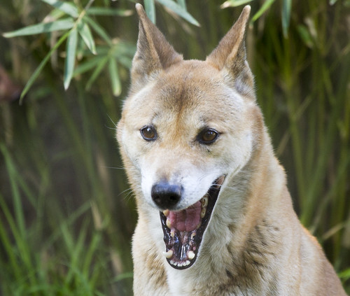 New Guinea Singing Dog Sounds Free