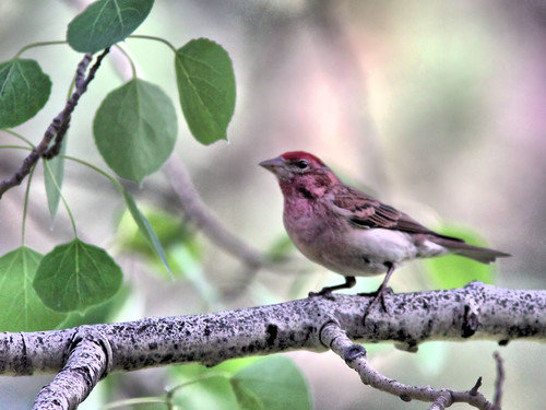Cassin's Finch male HDR 20160612