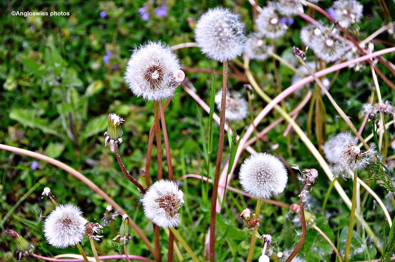 Dandelion Seed Heads