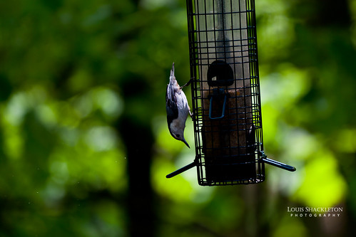White-breasted Nuthatch | by Lou FCD