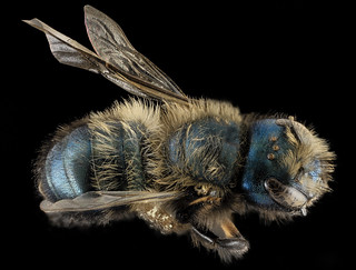 Osmia lignaria, F, Back, Washington, DC_2013-11-13-10.49.51 ZS PMax | by Sam Droege
