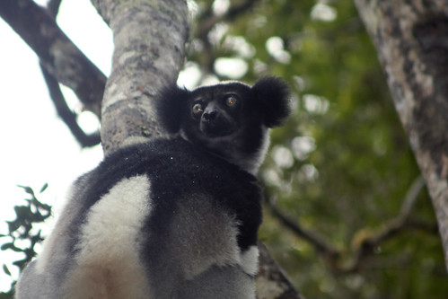Indri - Analamazaotra National Park, Madagascar | by David d'O / Schaapmans