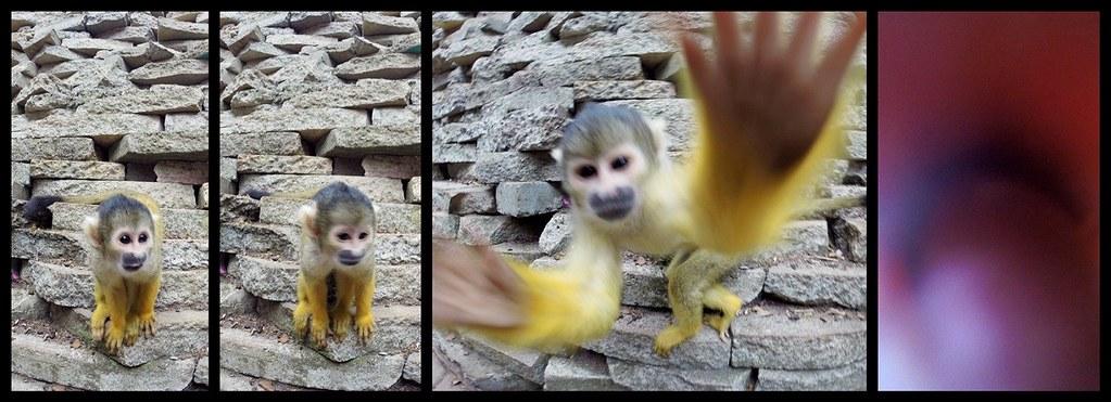 Monkey attacking the camera | estorde | Flickr