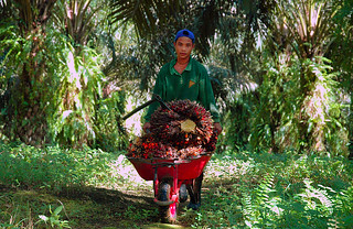 Child labour at the palm oil plantation, Indonesia | by ILO in Asia and the Pacific