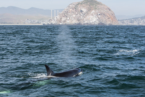 Killer Whale Tours Vancouver