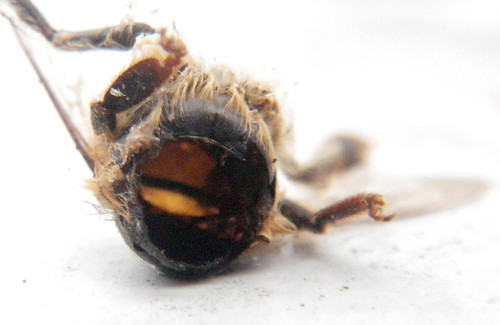 head removed from honeybee found outside of the hive | by Shawn Caza