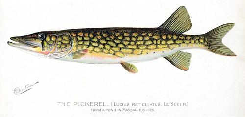 Pickerel pickerel fish nys dec flickr for Nys dec fishing