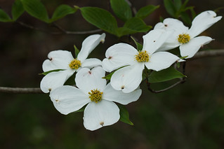 Cornus florida (flowering dogwood) | by tgpotterfield