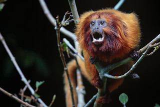 Golden lion tamarin | by Bart vanDorp