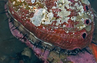 Red Abalone (Haliotis rufescens) | by Ron Wolf