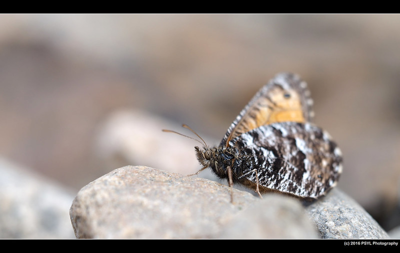Unknown butterfly (Family Nymphalidae)
