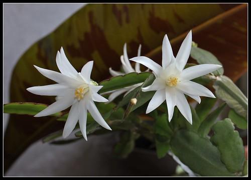 Hatiora hybride blanche (5)