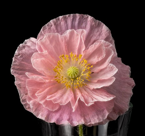 Pink poppy | by Don McClane