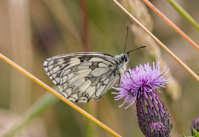 marbled white 049 (331)