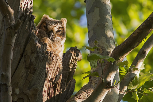 Great Horned Owl - Explored 15 May, 2014 | by Stephen J Pollard (Loud Music Lover of Nature)