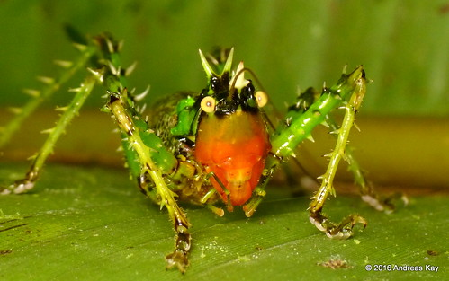 Spiny devil katydid, Panacanthus varius