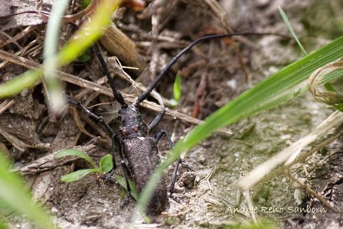 Whitespotted Sawyer (Monochamus scutellatus)