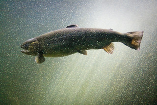 Atlantic Salmon | by matt.hintsa