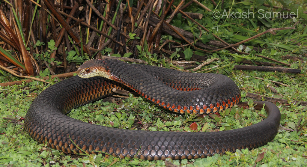 Lowlands Copperhead