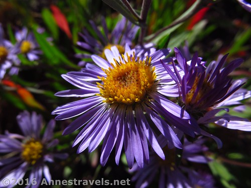 A wild aster along the Face Trail, Jedediah Smith Wilderness / Grand Teton National Park, Wyoming