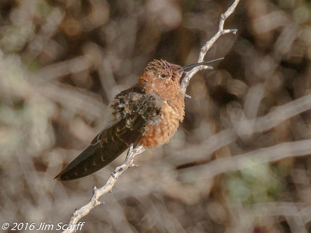 giant hummingbird the giant hummingbirds in this region ar flickr