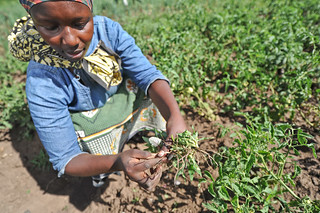 Horticulture in Lower Nyando, Kenya | by CGIAR Climate