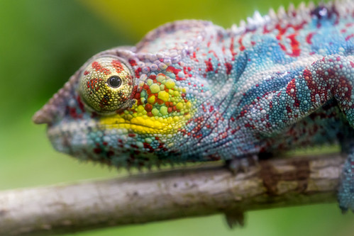 Colorful chameleon on the branch | by Tambako the Jaguar