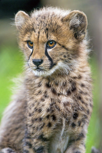 Sitting Cute Cheetah | A Portrait Of A Cute Sitting And ...