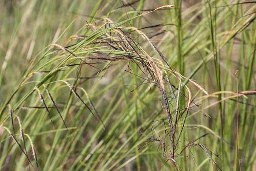 Heteropogon contortus (Black Speargrass)   Mature spikes bea…   Flickr