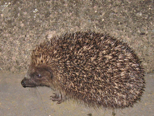 My last hedgehog sighting (2010) :2887a | by mausboam