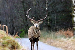 Stag ahead! (Explored 040314) | by Steviethewaspwhisperer