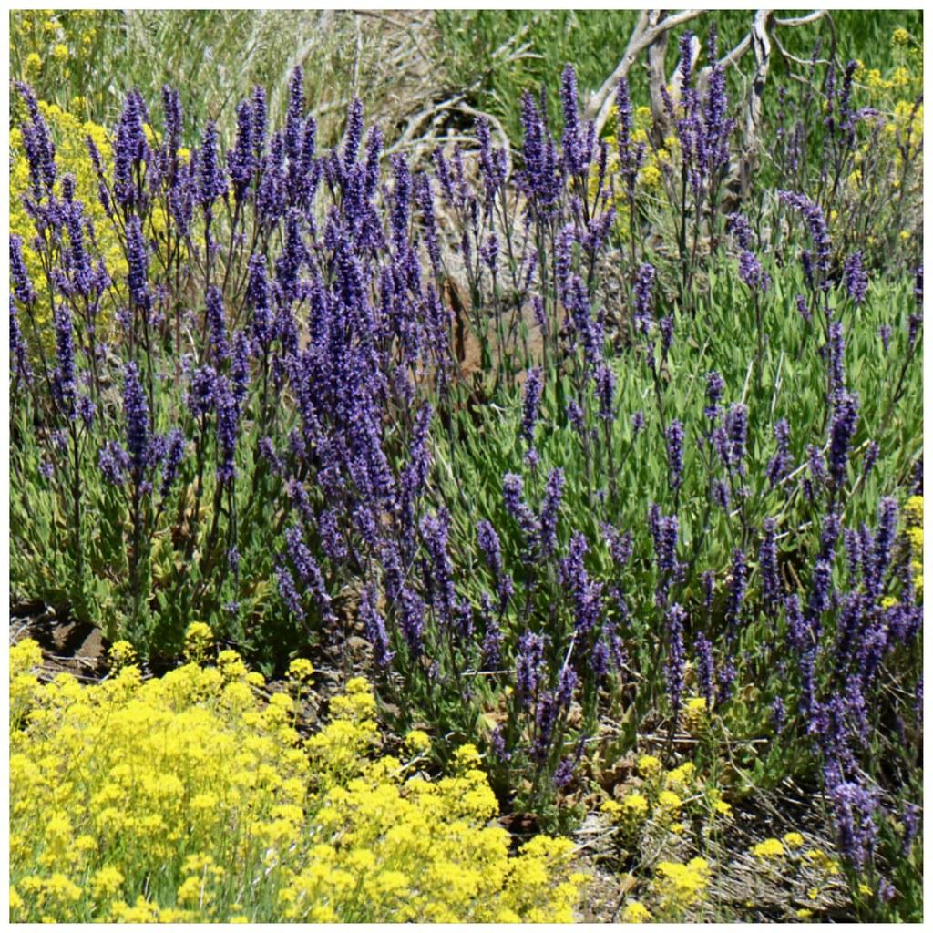 Tonatica vegetacion Teide