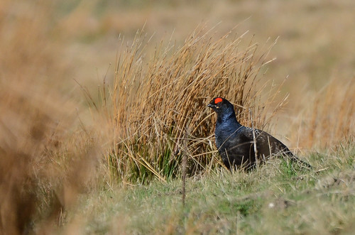Black Grouse, Upper Teesdale, County Durham | by Tim Melling