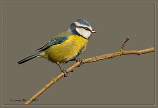 Blue Tit CC XIII | by Louise Morris (looloobey)