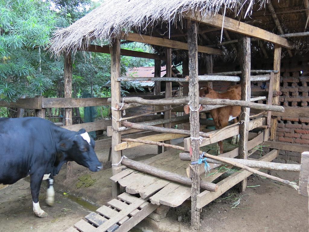 Zero grazing unit near kilosa tanzania photo by cleaned vc by international