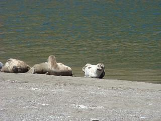 076 Zeehonden bij Goat Rock State Beach