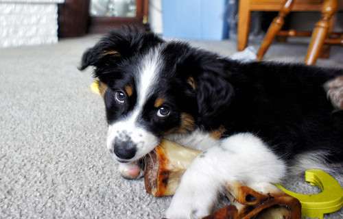 """Australian Shepherd Puppy"" 
