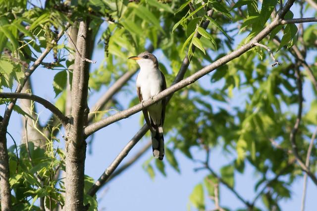 Yellow-billed Cuckoo-34.jpg