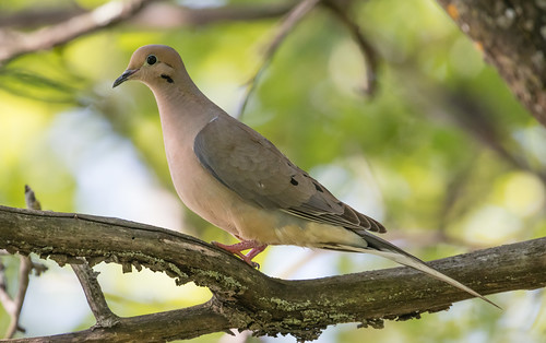 Mourning Dove | by Laura Erickson