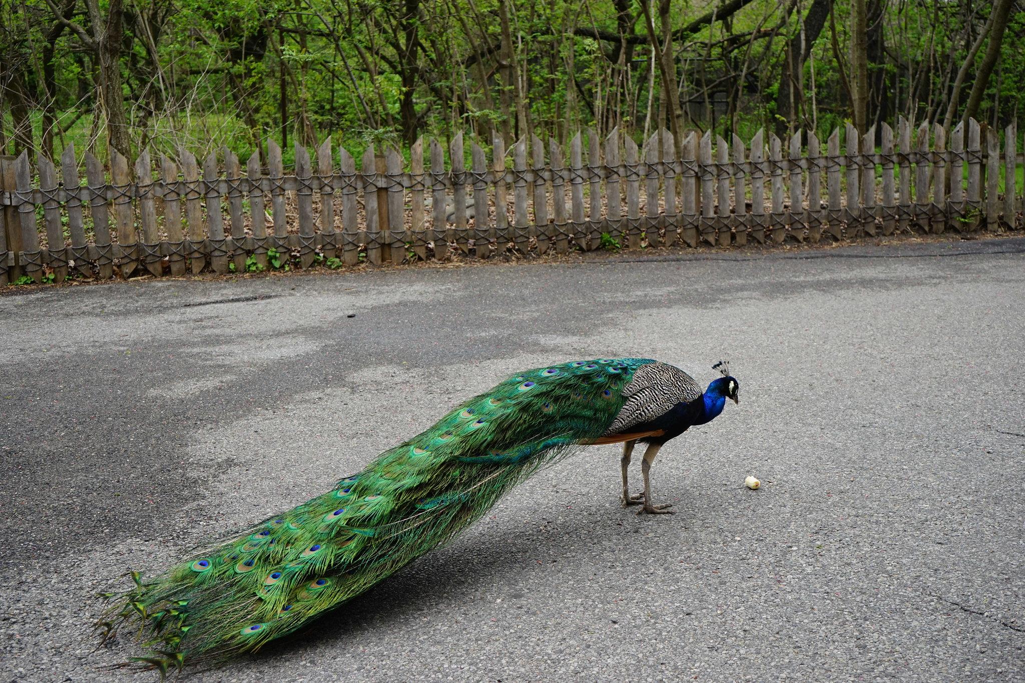 The Bronx Zoo Peacock