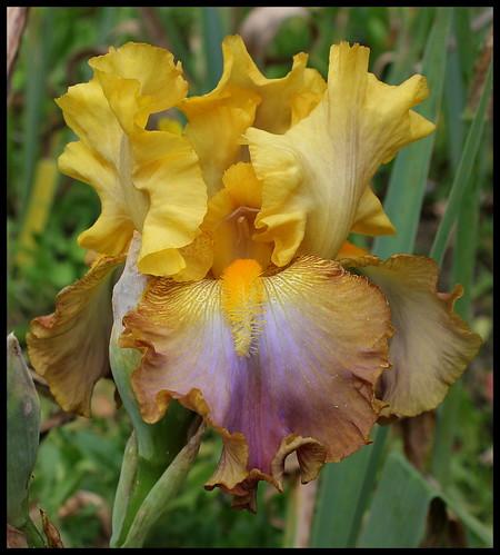 Iris 'Leader du Barry' - R-L Vasquez-Poupin NR 27652895786_267cd425ff