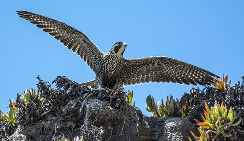 Peregrine Stretching Wings | by jkirkhart35
