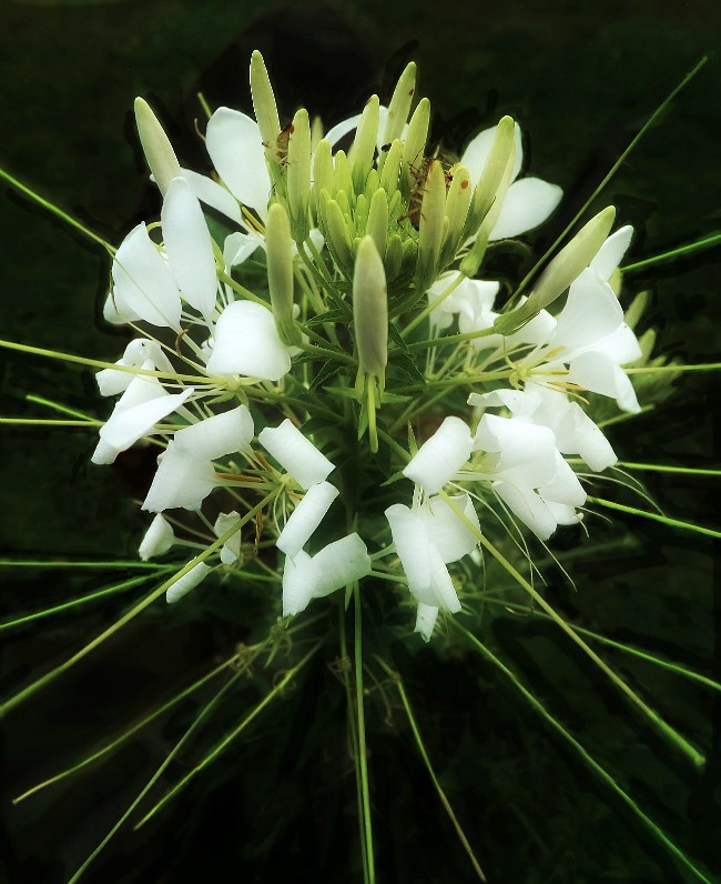 White Spider Flower This Perennial Grows Very Tall And It Flickr